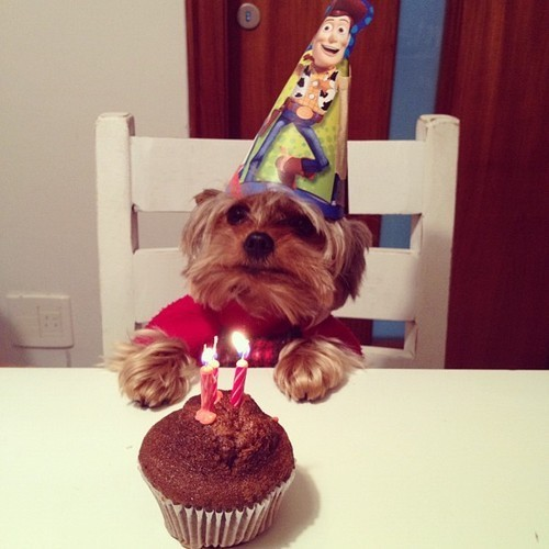 tristan-cookiemonster:  reblogging because my yorkie's bday is in a couple of weeks!!! so excited! he would never put up w/ a bday hat though, lol.  Sooo adorable! Makes me really miss little Brooklyn though ),:
