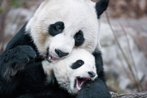Mother Panda with her cub. <3 Credit: here *Please do not remove the above text, or source.*