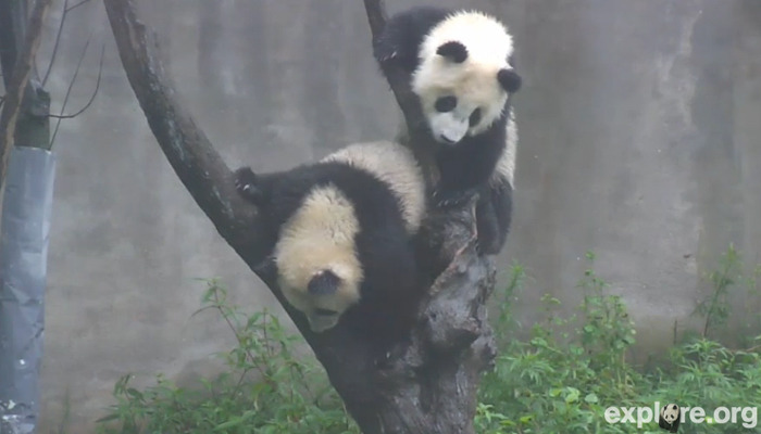 Panda Babies! Two young pandas born last year, Zhang Ka's second cub and Xi Xi's second cub, practice climbing skills in the Wolong Nature Reserve. Sixteen hundred pandas are approximated to live in the wild today with 325 in zoos and reserves. The China Research & Conservation Center for the Giant Panda at the Wolong Nature Reserve was established in 1963. Today there are 40 panda reserves across southwestern China. These reserves protect not only the Giant Pandas, but the entire ecosystem including the red panda, the golden monkeys, takin (a goat like animal) and many other smaller species. Those early evening hours, just after work, are the best times to catch the pandas on the live cam from China!  *The Red Panda is actually its own species. The size of a large cat, it looks like a cross between a fox, a bear and a raccoon! In other languages it's called small panda, gold panda or bear-cat.