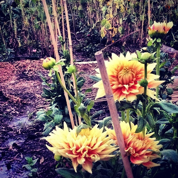 Sunflowers fading. #Dahlias rising. #wearecaliforniagrown #flowerstagram #schoolgarden #seasonal #urbanag  (Taken with Instagram at Muir Ranch)