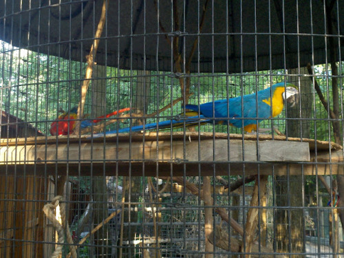 Taken during my trip to Living Treasures. There were two macaws and a cockatoo in this cage. I couldn't get a good picture of the cockatoo though.