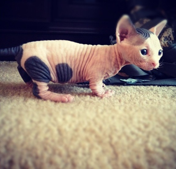 I want a Sphynx so bad. Their just so cute.