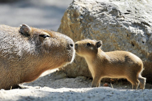 feliscorvus:  Grownup capybara and baby capybara nose-touching!