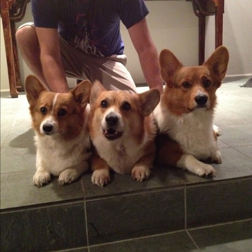 andcorgimakesthree:  All three #corgi #cute #love #petstagram #corgistagram #dog #iger #photooftheday (Taken with Instagram)