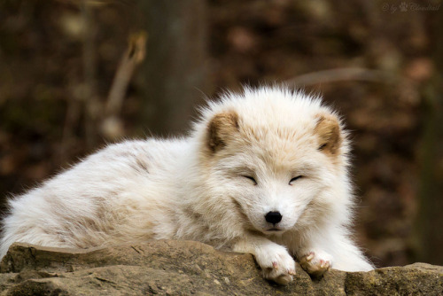 wild-earth:  Arctic Fox