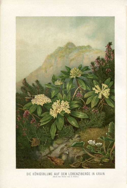 indigodreams:  featherandmoss: Old German chromolithograph of Alpine flowers by Ernst Heyn, 1894.