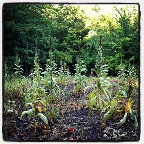 Morning with the Mullein. (Taken with Instagram)