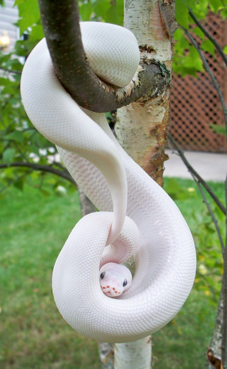 Albino python just hanging out