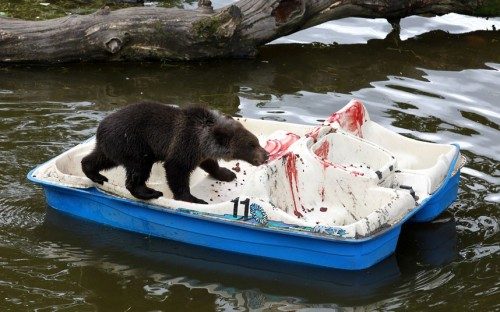 Seven month old Loki the European brown bear cub enjoys himself on a pedalo covered in his favourite treats including strawberry jam and grapes, left in the enclosure by staff at Blair Drummond Safari Park in Scotland.  Picture: Andrew Milligan/PA