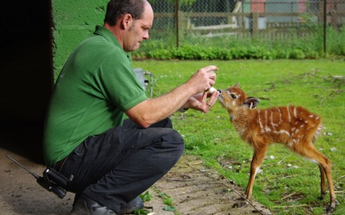 theanimalblog:  A baby sitatunga at ZSL Whipsnade Zoo is bottle-fed by her keeper, Craig White. Seven-week-old Chloe, named after Craig's daughter, is being given the milk by keepers to supplement the milk she's already getting from mum.  Picture: ZSL Whipsnade