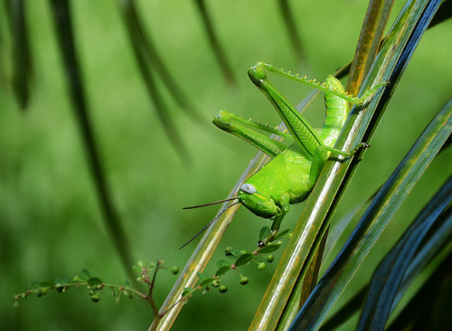 encaptured:  Grasshopper I - Explored! by Tinina67 on Flickr.