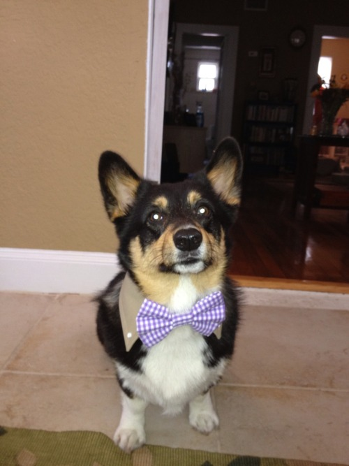 Baxter in his wedding suit! He will be the best looking groomsman for sure.