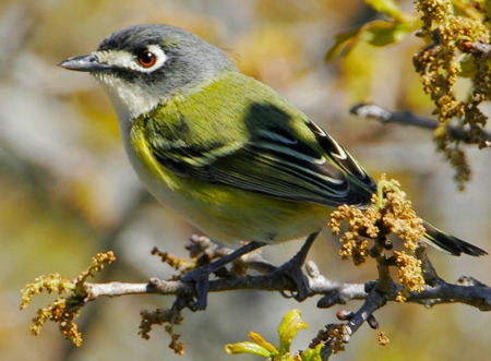The Black-capped Vireo is a dapper-looking small bird with a dark head set off by white lores and eye ring, giving it a spectacled appearance. The bird's red eyes are also distinctive. It is a habitat specialist, preferring areas that have been recently burned; periodic fire halts the spread of invasive junipers and enhances growth of the oak scrub that they prefer. Populations of Black-capped Vireos are small, fragmented, and declining. The species was listed as Endangered under the Endangered Species Act in 1987. Fire suppression is probably the most serious threat to this bird, but urban development and agricultural conversion (especially to pasture) have caused significant habitat loss. Nest parasitism by the Brown-headed Cowbird may affect up to 90% of nests in an area. Nestlings are sometimes killed by fire ants. Cowbird control is an essential conservation measure for the species, as are prescribed burns and fire ant control. These measures are in place at several important sites for the vireo, such as Fort Hood Military Installation, Balcones Canyonlands National Wildlife Refuge, and Kerr Wildlife Management Area. These measures have in some cases resulted in dramatic increases in the vireo's numbers. More information is still needed on this vireo's distribution and abundance in Mexico. (via Bird of the Week, July 20, 2012, Black-capped Vireo)
