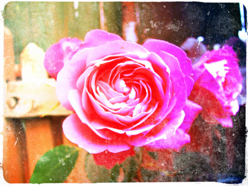#LUV #StuffGurlzLUV #Rose take-me-somewhere-secret:  pweddy roses x x x