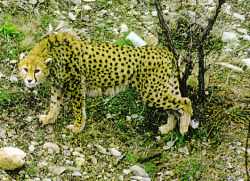 "The asiatic cheetah (Acinonyx jubatus venaticus) is a subspecies of cheetah roaming mainly in Iran. Having once been thousands of them from Arabian peninsula to India, they are now extinct in a majority of those locations. In fact, cheetah is a direct derivation from the Sanskrit word Chitraka, or ""spotted one."" They hunt like their other cousins, using their speed as a key skill to make a kill. They also eat similar hoofed animals, such as wild goats and gazelles. Some consider them migratory cats due to their tendency to move around in search for food.. But males often have a strong hold to their territory. Females, on the other hand, don't mind roaming in search of proper meals. Little is known about their breeding habits, but it's been documented that peak breeding may be in winter months.. Although it's also been noted they can reproduce year round. With little genetic variability, there is a high mortality rate in cubs. Loss of prey + habitat combined with poaching and the constant threat of inbreeding has led to the demise of this subspecies population.. With only 50-60 individuals thought to be living today, the IUCN has declared this species critically endangered. There are quite a few conservation projects going on in an attempt to save them. These are supported and funded by a variety of wonderful groups such as the Felidae Conservation Fund and Panthera."