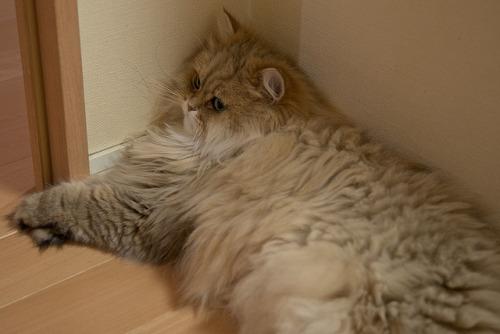 fivehundredcats:  catp0rn:  dat fluff  ^