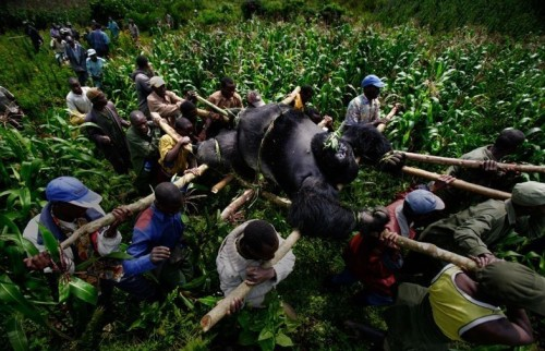 "Brent Stirton: ""This is Virunga, the first National Park in Africa, in the Democratic Republic of Congo. The Silverback Mountain Gorilla, along with 6 females, had been killed by a group trying to intimidate conservation rangers into being less proactive in their efforts against poaching & illegal charcoal making. There are only about 40 of these Silverbacks in the world, so the Rangers were devastated at the assassination. This procession went on for about 5 kms, moving the 600 pound body over hills & through the forest. Over 120 of these rangers have died in the last 10 years doing this job; most make less than $10 a month. They're heroes, there's just no other word that seems appropriate to describe these incredible African men."