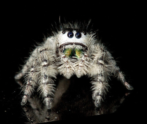 gemma-st-cloud:  Phidippus mystaceus by e_monk on Flickr.