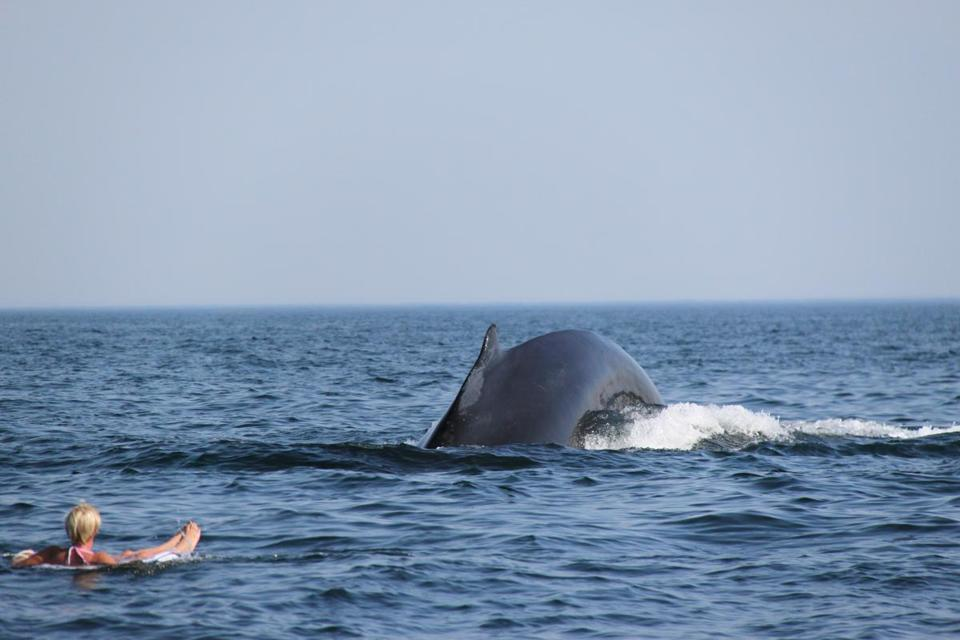 Humpback whales swim near woman off Truro  A woman relaxing on an inner tube off the coast of Truro got quite a surprise when she was joined by three humpback whales last weekend. (LOIS PETTI PHOTO)