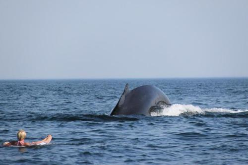 boston:  Humpback whales swim near woman off Truro  A woman relaxing on an inner tube off the coast of Truro got quite a surprise when she was joined by three humpback whales last weekend. (LOIS PETTI PHOTO)