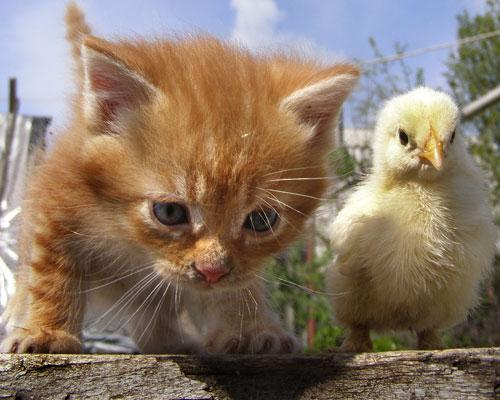 mothernaturenetwork:  16 unlikely animal friendships cute