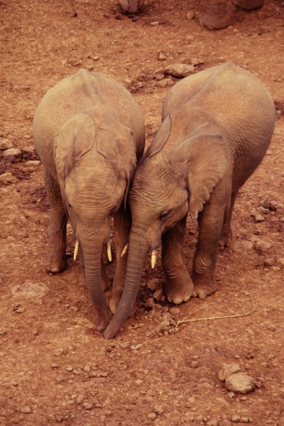 In the Aberdare National Park, two young elephants gently rubbing against each other's body.