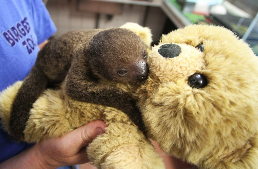 buzzfeedanimals:  Sjakie, this baby sloth, and his surrogate mom, this teddy bear. Hyperventilating has never felt so good.  AHHHHHHHHHHHHHHHHDHSFDSHFHHHHHHHH