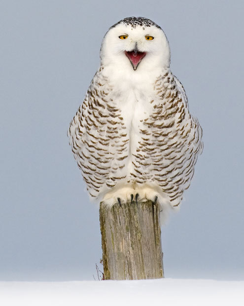 harvestheart:  A snowy owl sits on a post in Arctic CanadaPicture: Andy Rouse / Rex Features