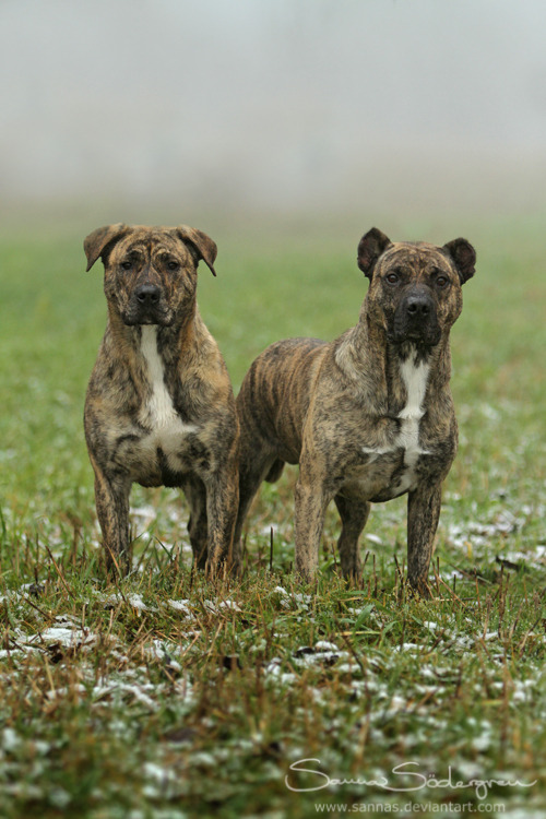 ihavelotsofdogs:  Cimarron Uruguayo family photo by *SaNNaS Cimarron Uruguayo