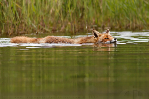 Swimming Fox by *thrumyeye