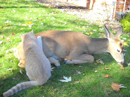 byct-tlh:  cndycrn:  deer visits cat every morning since it was a kitten  aww