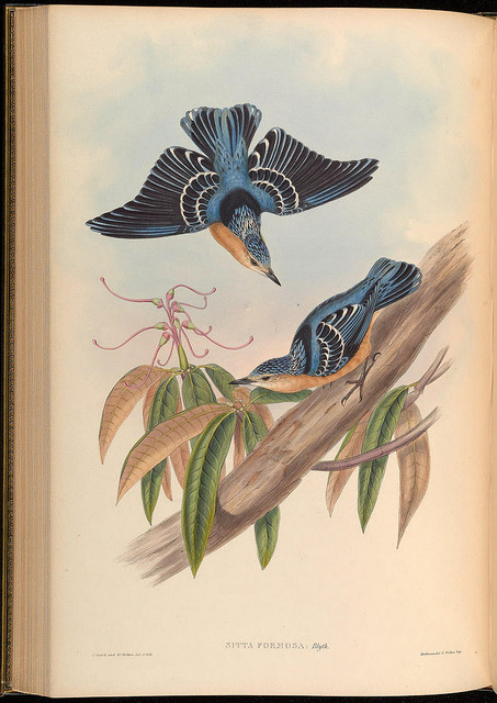 Sitta formosa by BioDivLibrary on Flickr. Birds of Asia / by John Gould.. London :Printed by Taylor and Francis, pub. by the author,1850-1883..biodiversitylibrary.org/page/38534161