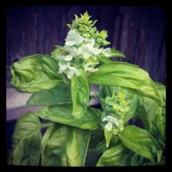 sweet #basil flowers  (Taken with Instagram)