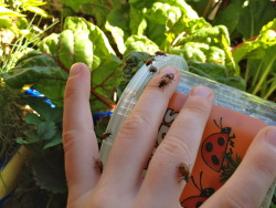 Ladybugs! Oh, I should have done this months ago!  So, even a deck-a-garden gets riddled with pests.  I was using a safe-soap spray, but that was a pain.  The lady bugs have greatly helped the pest issues, *and* my son is kept busy by looking after them.  Score all around!
