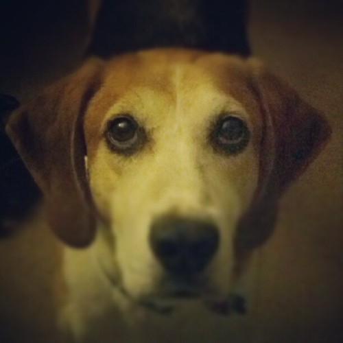 These are #eyes full of love. #photoadayjuly, #mrbojangles, #walker, #hound, #doggie, #love, #gooddog (Taken with Instagram)