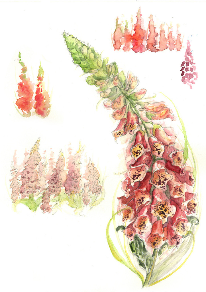 sweetannasour:  Summer Foxgloves (by Amy Holliday)