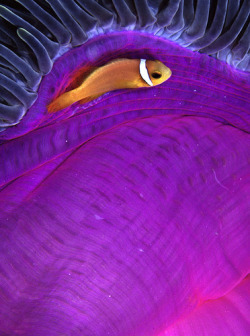 fyeah-seacreatures:  Anemone Fish. (TONY MAKIN)