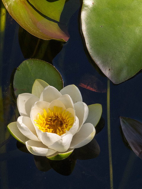 Water Lilly by Lars Helge on Flickr.