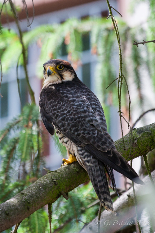3foldlaw:  Lanner Falcon (by shootergp)