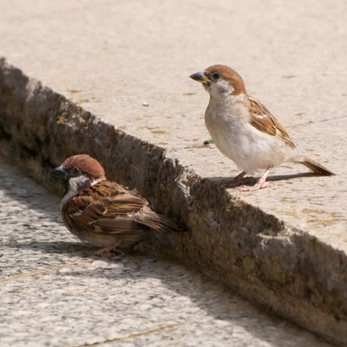 Sparrows #japan #tokyo #bird #birds #Sparrow #Sparrows (Instagramで撮影)