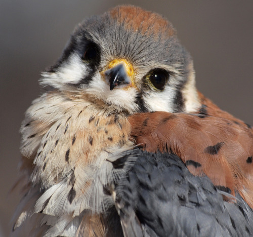 llbwwb:  American Kestrel (by ml_thorsteinson)