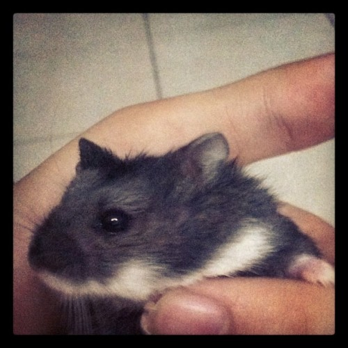 I miss AhBlack, wonder how is she now with her new owner 😣 #hamster  (Taken with Instagram)