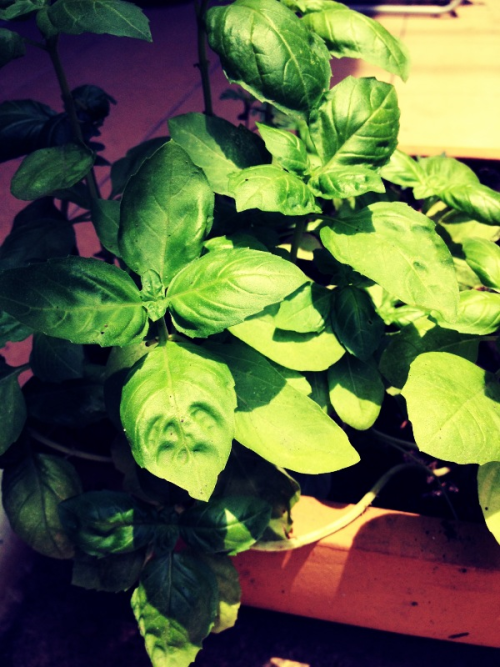 Back to basil #homegrown