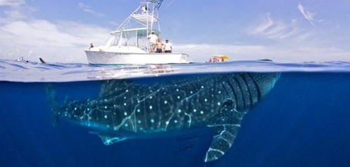 thedailywhat:  Undoctored Photo of the Day: This photo of an endangered whale shark was snapped by adventure photographer Shawn Heinrichs. Heinrichs, who is an international advisory board member for WildAid, is an avid scuba diver and shark conservationist. This photo is one of many taken during an outing with one of the ocean's largest — and most docile — creatures. [wildaid]