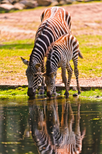 Mother and foal zebras drinking (by Tambako the Jaguar)