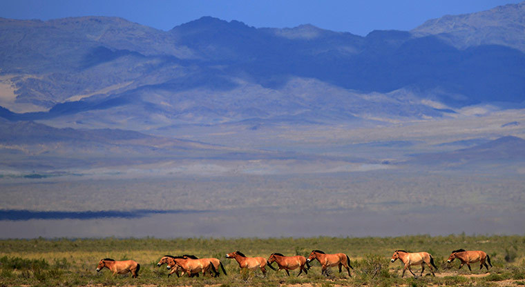 A herd of endangered Przewalski horses trot across the Takhin Us national park in the south-west part of Mongolia. The Prague zoo transported four Przewalski horses to Mongolia as part of its efforts to reintroduce the endangered species into its native environment Photograph: Petr Josek/Reuters