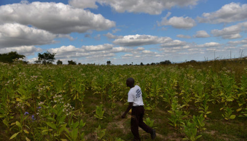 "Zimbabwe's Black Farmers Faring Better After Land Upheavals   Stuart Mhavei, 40, in one of the fields where he and his wife now grow tobacco on the Mutua Farm. ""Why should one white man have all this?"" he asked, sweeping an arm across the lush, rolling farmland around his fields. ""This is Zimbabwe. Black people must come first.""   Credit: Lynsey Addario for The New York Times"