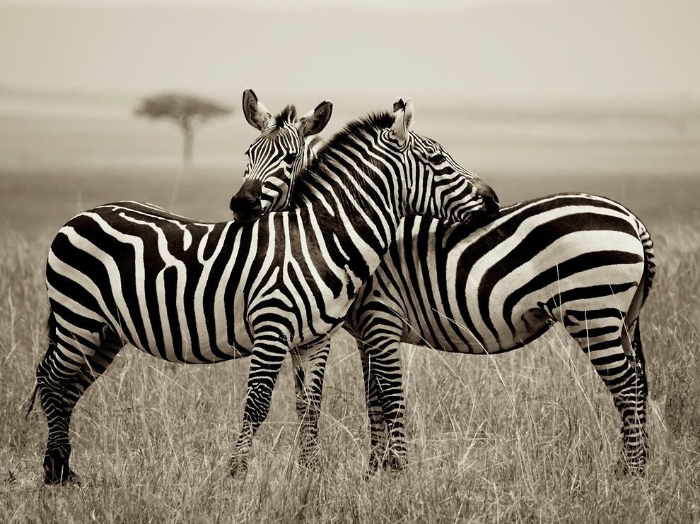 Zebra Pair, Kenya Photograph by Owain Evans (via Zebra Picture — Animal Wallpaper — National Geographic Photo of the Day)
