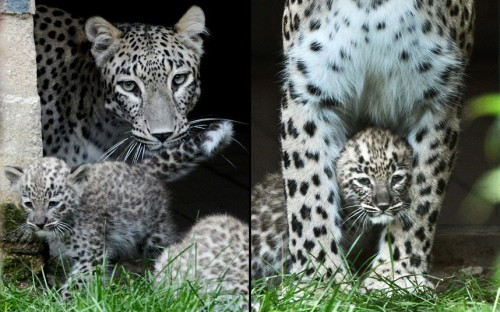 theanimalblog:  Persian leopard cub triplets and their mother explore their enclosure at the zoo in Hanover, Germany  Picture: EPA/JULIAN STRATENSCHULTE