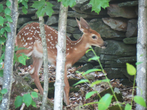 Widdle baby deer hanging out in my back yard. He was there all day until his mommy came back to pick him up (after running errands I guess??)